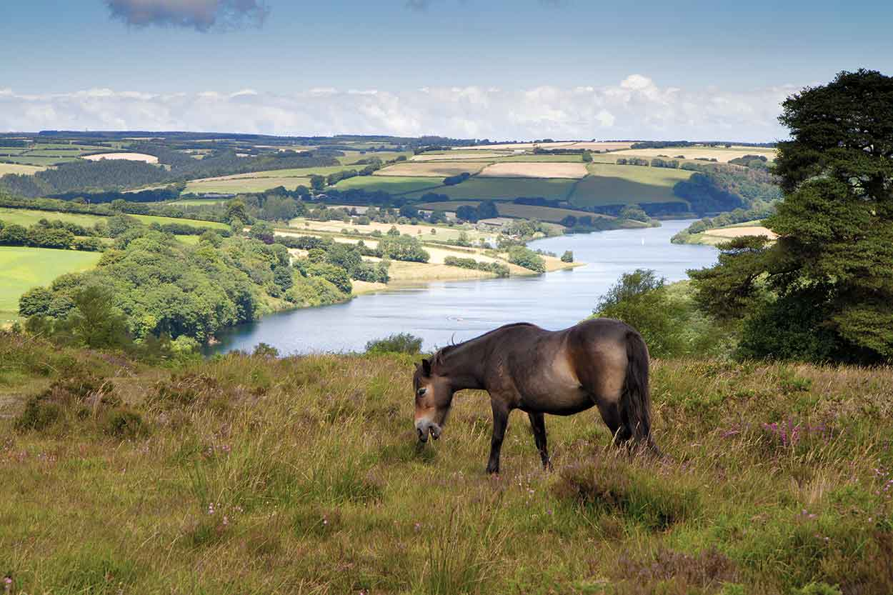 exmoor pony at the national park
